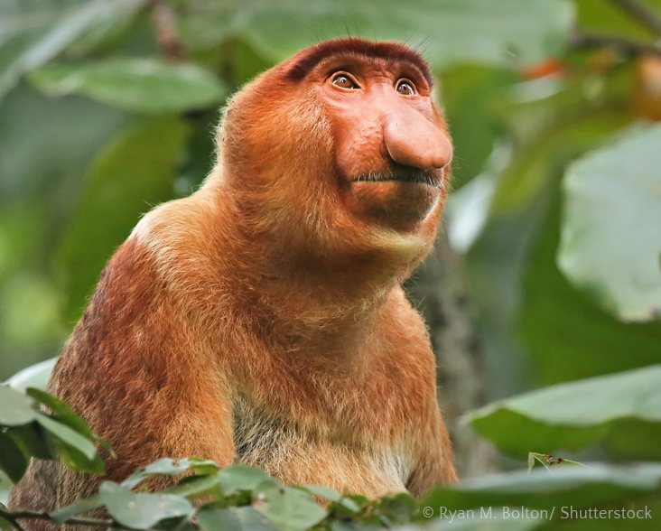 Proboscis Monkey, endemic to Borneo