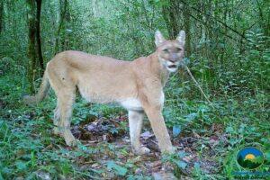 Puma, Sierra Gorda