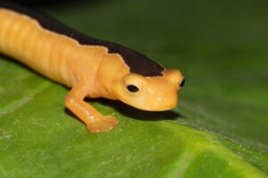 Jackson's Climbing Salamander