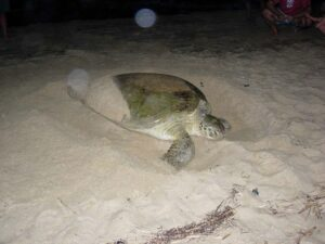 Green sea turtle nesting By U.S. Fish and Wildlife Service [Public domain], via Wikimedia Commons