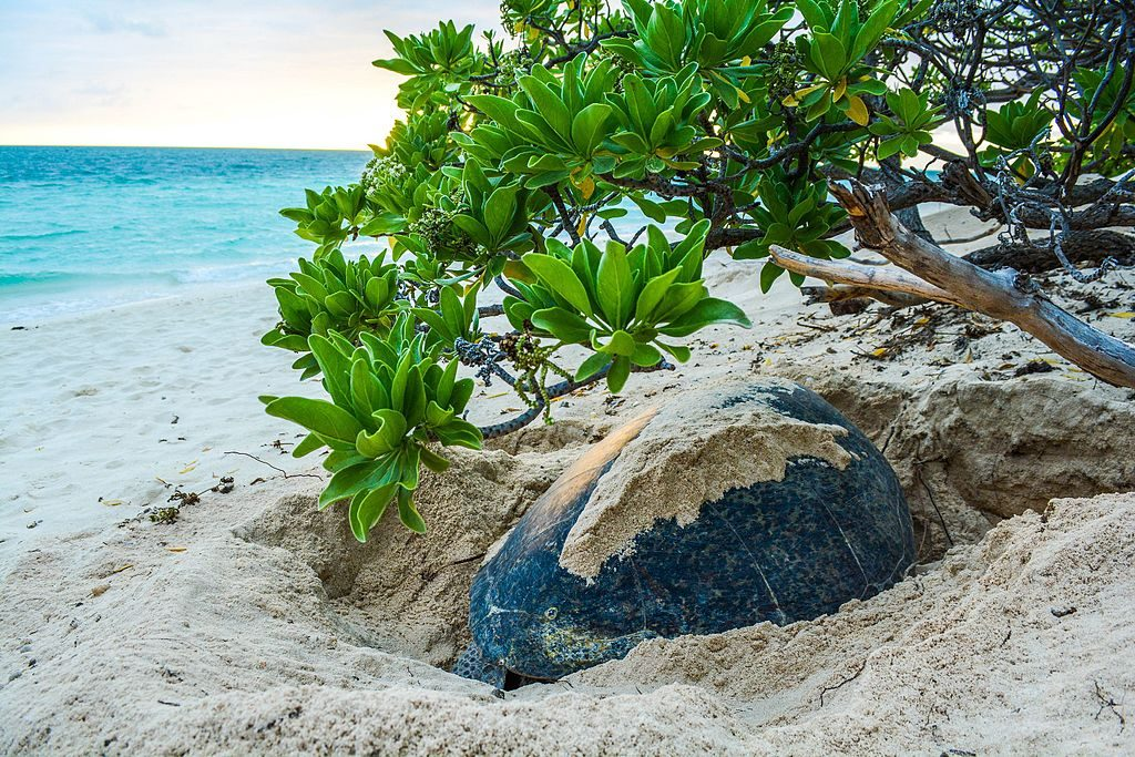 Green Sea Turtle nesting at sunrise By GretelW (Own work) [CC BY-SA 4.0 (https://creativecommons.org/licenses/by-sa/4.0)], via Wikimedia Commons