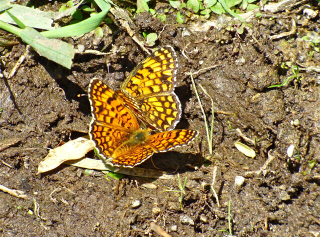 High Brown Fritillary, Caucasus Wildlife Refuge, Armenia © Bill Oddie