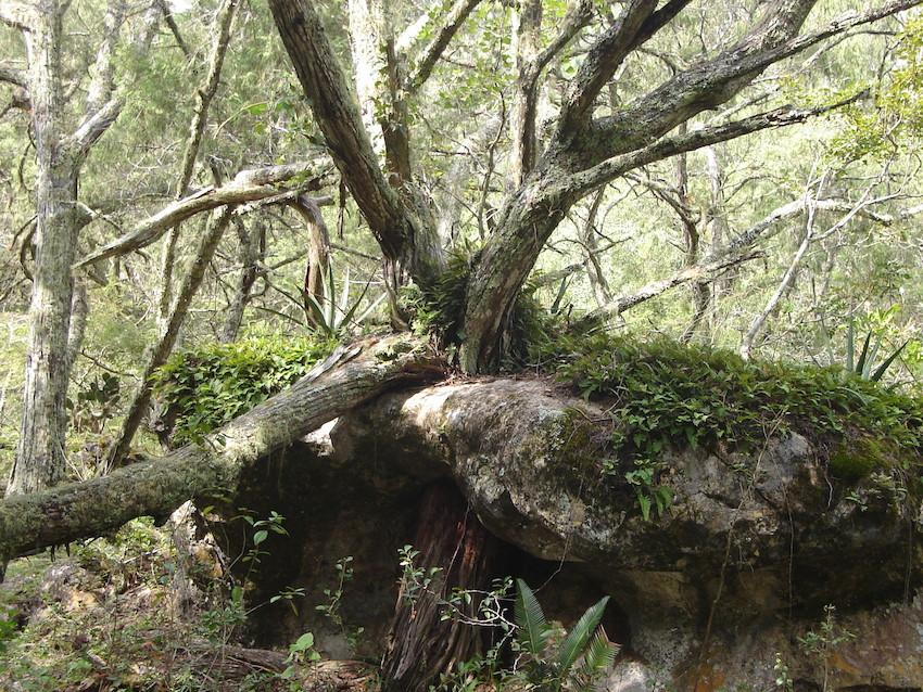 Juniper forest, Hoya Verde, Mexico. Credit GESG