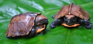 Newly hatched Keeled Box Turtles, Vietnam credit Simon Brauberg - ATP/IMC