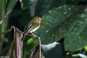 Cinnamon-breasted Tody-Tyrant, protected at Nangaritza Ecuador, Credit Nick Athanas (Flickr) Photographed in Peru.