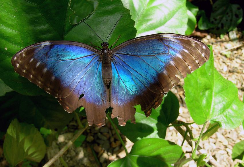 Morpho Butterfly, Belize, credit David Tomlinson