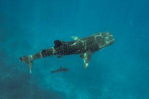 Whale Shark copyright Shutterstock