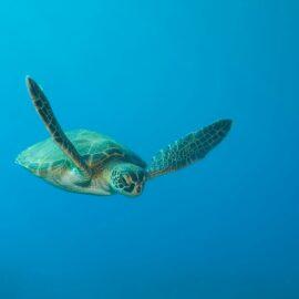 Green Sea Turtle. Copyright Shutterstock