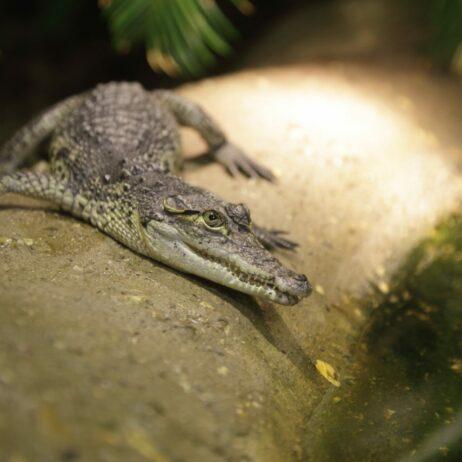 Morelet's Crocodile copyright Shutterstock