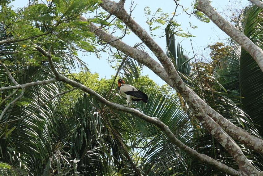 Adult King vulture credit Programme for Belize