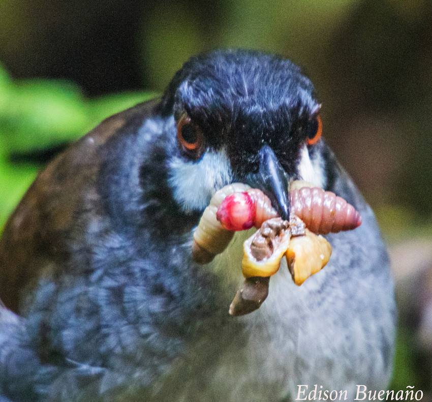 Jocotoco Antpitta with grubs credit Edison GoodyearSwordBilledExpeditions.com