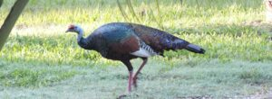 Ocellated Turkey at Rio Bravo for banner, credit Christina Ballinger