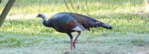 Ocellated Turkey at Rio Bravo for banner, credit Christina Ballinger