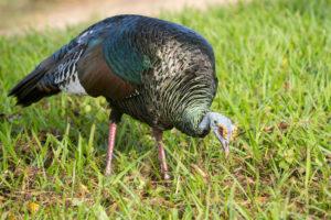 Ocellated Turkey credit Dan Bradbury