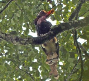 Male Helmeted Hornbill with food for female in nest cavity. Credit Felicity Oram