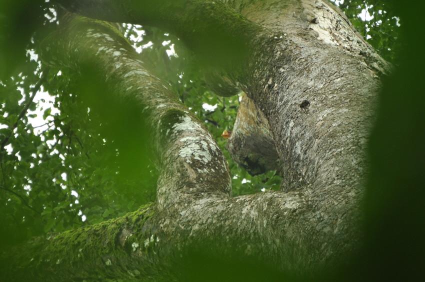 Helmeted hornbill Glimpse in tree Credit Felicity Oram