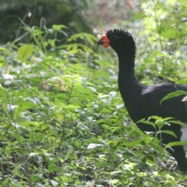 Red Billed Curassow credit Alan Martin