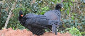 Red billed currasow for banner REGUA credit WLT