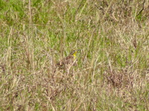 Sharpes Longclaw in tussock grass credit Martha Nzisa