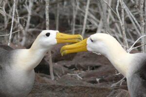 Albatross reunion