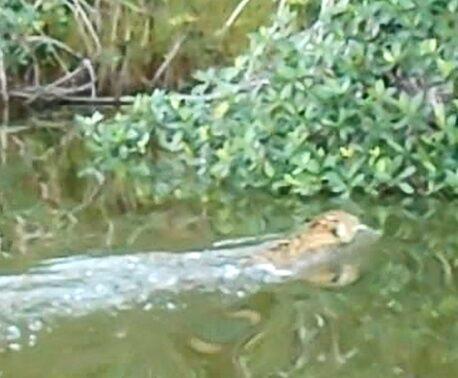 Jaguar in Laguna Grande