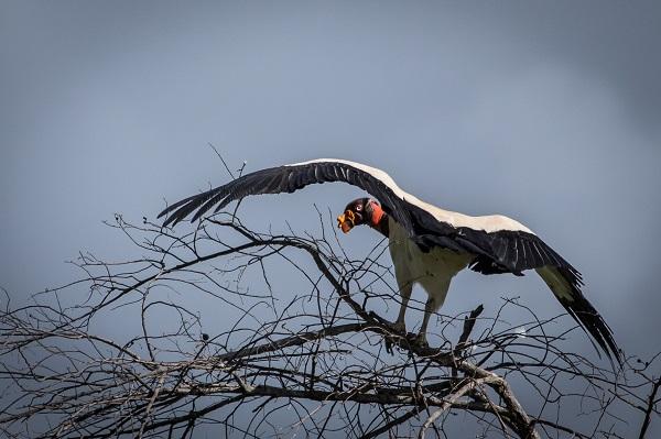 King Vulture Credit: Bart van Dorp