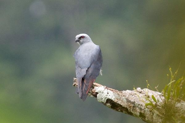Plumbeous Hawk Credit: Bettina Arrigoni