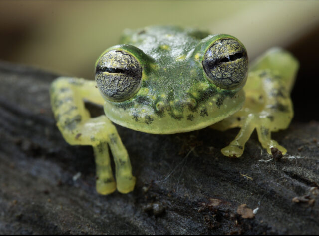 Puyo Giant Glass Frog