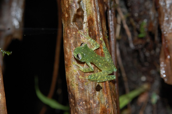 Puyo Giant Glass Frog © Matthew Perez