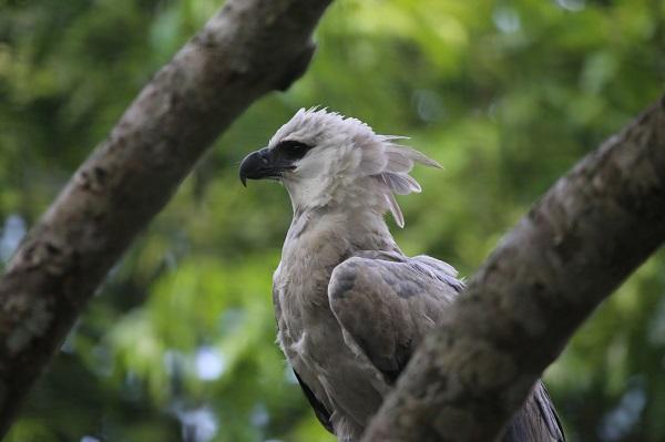 Harpy Eagle Credit: Cuatrok 77