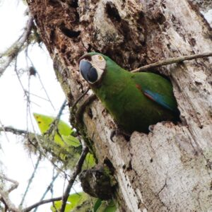 Military Macaw in nest hole