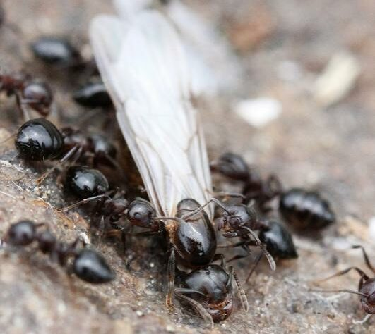 Worker ants tend to a reproductive ant