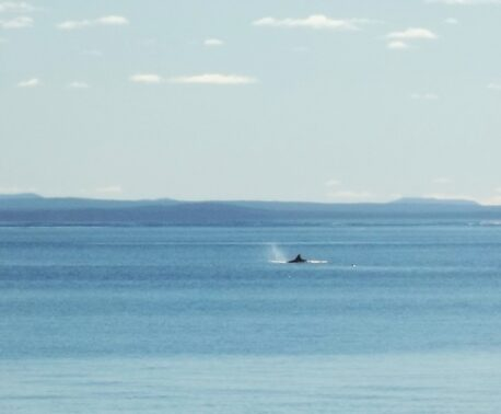 Orca (Killer Whale) sighting from the coast of the Patagonian Steppe, Argentina
