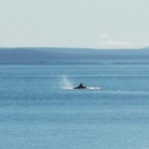 Orca (Killer Whale) sighting in Argentina