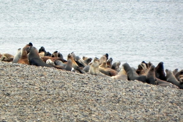 Sea lion colony in Patagonian Steppe, Argentina