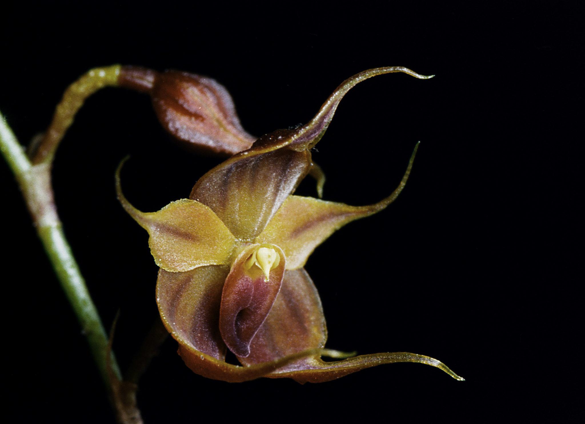 The Puro Orchid, Teagueia Puroana