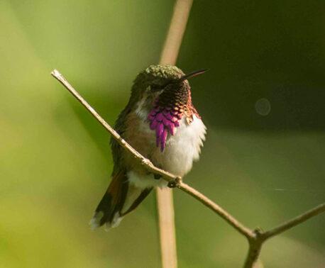 Bumblebee Hummingbird (Atthis Heloisa) in Sierra Gorda, Mexico