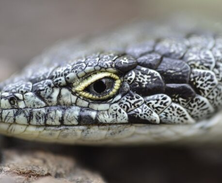 Bromeliad Arboreal Alligator Lizard © Roberto Pedraza Ruiz