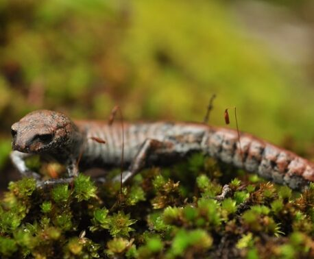 Leprous False Brook Salamander (Bolitoglossa leprosa) © Nina Seale/World Land Trust
