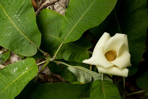 Magnolia rzedowskiana copia, a magnolia tree species found in Sierra Gorda, Mexico