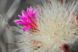 Mammillaria rzedowskiana, new cactus species found in Sierra Gorda