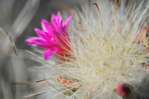 Mammillaria rzedowskiana, new cactus species found in Sierra Gorda