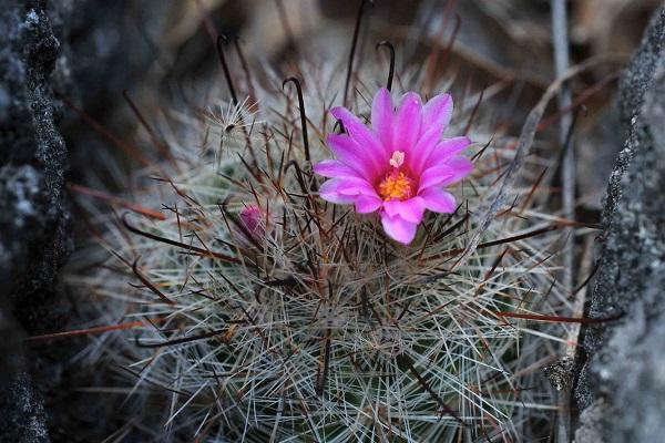 Mammillaria rzedowskiana, a cactus species found in Sierra Gorda, Mexico