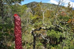 New agave species discovered in Sierra Gorda, Mexico