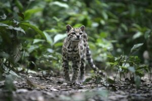 Margay in forest