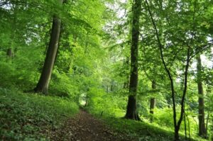 Ancient beech woodland at Kites Hill, Gloucestershire