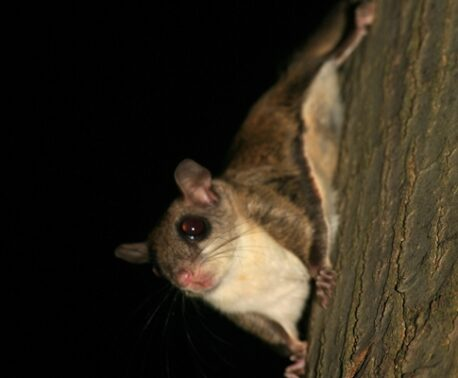 Southern Flying Squirrel. Image: Laszlo Ilyes