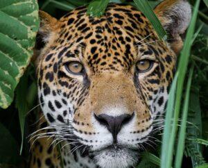 Jungle for Jaguars, Belize