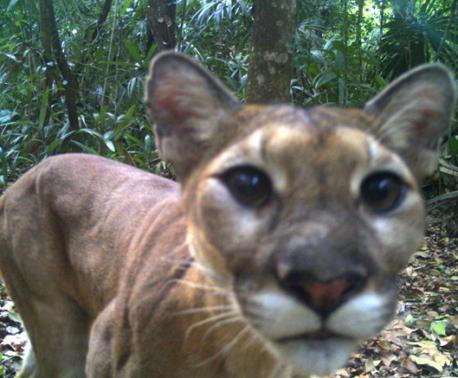 Puma, Freshwater Creek Reserve, Belize