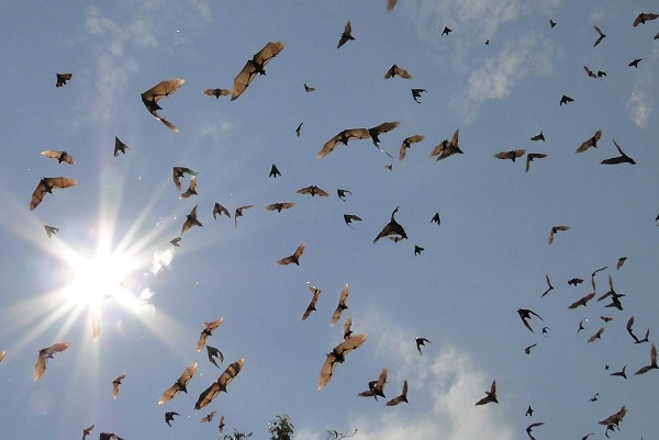 Straw-coloured Fruit Bats in Kasanka National Park